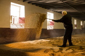 A worker in the Malting Room at the Balvenie Distillery in Dufftown, Moray, Scotland. John Paul / Scottish Viewpoint horizontal,inside,interior,indoors,malting room,Balvenie Distillery,Dufftown,Moray,Scotland,Scottish,UK,U.K,Great Britain,1 person,one man only,50-60 years,building,single malt,whisky,Speyside,grain,p