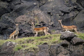 Red deer hinds on a rocky hillside, Isle of Mull, Inner Hebrides, Scotland Allan Wright/ Scottish Viewpoint uk,u.k,Great Britain,GB,G.B,Scotland,Scottish,island,islands,isle,isles,spring,Isle of Mull,Inner Hebrides,nobody,outdoors,sunny,daytime,deer,red deer,hinds,wild animals