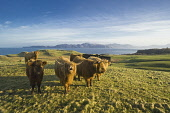 A herd of highland cows, Isle of Mull, Inner Hebrides, Scotland Allan Wright/ Scottish Viewpoint uk,u.k,Great Britain,GB,G.B,Scotland,Scottish,island,islands,isle,isles,spring,Isle of Mull,highland cows,highland cattle,highland cow,cows,cow,cattle,animals,animal