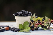 Blackberries in a pail surrounded by fresh blackberries and blackberry leaves Paul Dodds / Scottish Viewpoint nobody,daytime,indoors,autumn,autumnal,blackberries,blackberry,fruit,fruits,food