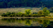 A pair of swans on Loch Lubnaig, Loch Lomond & Trossachs National Park, Scotland Andrew Wilson/ Scottish Viewpoin uk,u.k,Great Britain,GB,G.B,Scotland,Scottish,nobody,outdoors,autumn,daytime,loch,lochs,Trossachs National Park,Trossachs,swans,swan,bird,birds