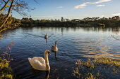 Swans at Birnie and Gaddon Loch Nature Reserve, Fife, Scotland Alan Gordon/ Scottish Viewpoint uk,u.k,Great Britain,GB,G.B,Scotland,Scottish,nobody,outdoors,fife,nature reserve,birnie,gaddon,loch,lochs,swan,swans,cygnet,cygnets