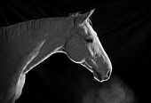 A white horse portrait Iain McLean/ Scottish Viewpoint uk,u.k,Great Britain,GB,G.B,Scotland,Scottish,nobody,white,horses,equine,animal,animals