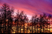 A red sunset behind a larch wood in South Lanarkshire, Scotland Andrew Wilson/ Scottish Viewpoin uk,u.k,Great,Britain,GB,G.B,Scotland,Scottish,nobody,daytime,outdoors,sunset,trees,tree,wood,woods,forest,forests,red,pink,dusk