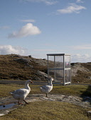 Quiet rural road with geese walking by a bus shelter near Manish on Isle of Harris. Outer Hebrides, Scotland Mark Ferguson/ Scottish Viewpoin uk,u.k,Great,Britain,GB,G.B,Scotland,Scottish,nobody,daytime,outdoors,spring,Harris,geese,gooses,western isles,outer,Hebrides,road,rural
