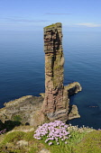 Old Man of Hoy, Hoy, Orkney Islands, Scotland. Richard Clarkson/ Scottish Viewpoint uk,u.k,Great Britain,GB,G.B,Scotland,Scottish,nobody,daytime,outdoors,Old Man Hoy,Hoy,Orkney,Isles,Island,Islands,old,man,pentland firth