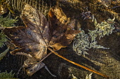 Frosted leaves, Balmacara, Scotland Alan Gordon/ Scottish Viewpoint uk,u.k,Great Britain,GB,G.B,Scotland,Scottish,nobody,daytime,Highlands,atmospheric,cold,frost,frozen,leaves,nature,sun,sunlight,tree,winter,abstract,leaf