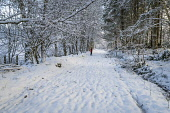 Walker on a Forest track near Inverness under snow, Highlands of Scotland Alan Gordon/ Scottish Viewpoint uk,u.k,Great Britain,GB,G.B,Scotland,Scottish,1 person,daytime,Highlands,Inverness,atmospheric,beech,birch,cold,conifer,deciduous,footpath,forest,forestry,frozen,nature,path,snow,sunlight,sunny,track,
