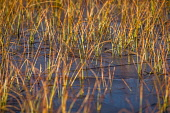 Grasses in a frozen pool Alan Gordon/ Scottish Viewpoint uk,u.k,Great Britain,GB,G.B,Scotland,Scottish,nobody,daytime,outdoors,Ross and Cromarty,abstract,autumn,frozen,grass,ice,lochan,nature,pond,pool,reeds,sunlight,sunny,water
