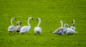 A group of swans in a field near the rived Clyde in South Lanarkshire in early spring, Scotland Andrew Wilson/ Scottish Viewpoint uk,u.k,Great Britain,GB,G.B,Scotland,Scottish,nobody,daytime,Cygnus,bird,cignet,feeding,early spring,swan,white,wild,wildlife,South Lanarkshire