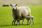 Young lambs feeding from their mum on a farm in the Scottish borders, Scotland Andrew Wilson/ Scottish Viewpoint uk,u.k,Great Britain,GB,G.B,Scotland,Scottish,nobody,daytime,animal,baby,ewe,lamb,lambing,mum,new born,sheep,spring,springtime,young