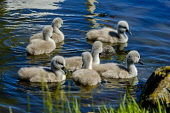 Recently hatched cygnets with their parents at the boating pond in Biggar, South Lanarkshire, Scotland Andrew Wilson/ Scottish Viewpoint uk,u.k,Great Britain,GB,G.B,Scotland,Scottish,nobody,daytime,swan,cygnet,young,hatched,spring,boating pond,Biggar,South Lanarkshire,swans,cygnets,babies,birds