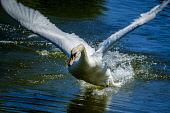 A swan taking off from  water Scotland Andrew Wilson/ Scottish Viewpoint uk,u.k,Great Britain,GB,G.B,Scotland,Scottish,nobody,daytime,swan,boating pond,Biggar,South Lanarkshire,swans