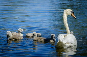 Recently hatched cygnets with their parents at the boating pond in Biggar, South Lanarkshire, Scotland Andrew Wilson/ Scottish Viewpoint uk,u.k,Great Britain,GB,G.B,Scotland,Scottish,nobody,daytime,swan,adult,parent,male,female,cygnet,young,hatched,spring,boating pond,Biggar,South Lanarkshire,swans,cygnets,babies,birds