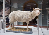 Dolly the sheep on display at National Museum of Scotland in Edinburgh, Scotland, United Kingdom Iain Masterton/ Scottish Viewpoint National Museum of Scotland,Edinburgh,Scottish,dolly,sheep,cloned,animal,cloning,clone,display,museums,interior,Britain,british,United Kingdom,Europe,European,museum,inside