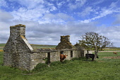derelict croft, caithness, Highlands of Scotland Mark Hicken/ Scottish Viewpoint uk,u.k,Great Britain,GB,G.B,Scotland,Scottish,nobody,daytime,outdoors,derelict bothy,tree,cows and calves,caithness,croft,crofts,crofting,ruin,ruins,stone