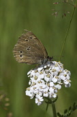 ringlet butterfly,aphantopus hyperantus, female, Highlands of Scotland Mark Hicken/ Scottish Viewpoint uk,u.k,Great Britain,GB,G.B,Scotland,Scottish,nobody,daytime,outdoors,ringlet,butterfly,insect,aphantopus hyperantus,female,cairngorms national park,close up,highlands