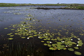 white water lilies,nymphaea alba, flowers, South Uist, Outer Hebrides, Scotland Mark Hicken/ Scottish Viewpoint uk,u.k,Great Britain,GB,G.B,Scotland,Scottish,nobody,daytime,white water lily,lilies,nymphaea alba,flowers,british,flora,south uist,western isles,outer hebrides