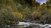 Spectacular autumn colours in natural woodland on banks of River Garry at historic Pass of Killiecrankie at Soldier's Leap  near Pitlochry. Iain Masterton/ Scottish Viewpoint Killiecrankie,autumn,autumnal,colors,colours,colour,River Garry,season,seasons,seasonal,Pass of Killiecrankie,Scotland,Scottish,scenery,landscape,scenic,tourism,travel,daytime,Soldier's Leap,woodland,