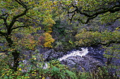 Spectacular autumn colours in natural woodland on banks of River Garry at historic Pass of Killiecrankie at Soldier's Leap  near Pitlochry. Iain Masterton/ Scottish Viewpoint Killiecrankie,autumn,autumnal,colors,colours,colour,River Garry,season,seasons,seasonal,Pass of Killicrankie,Scotland,Scottish,scenery,landscape,soldier's leap,bridge,footbridge,scenic,tourism,travel,