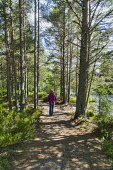 Walking in Scots pine forest at  Loch Morlich, Aviemore,  Highlands of Scotland UK Dennis Barnes/ Scottish Viewpoint uk,u.k,Great Britain,GB,G.B,Scotland,Scottish,1 person,daytime,outdoors,walking,Scots,pine,Caledonian,ancient,forest,Cairngorms,path,paths,track,walker,woodland,national,park
