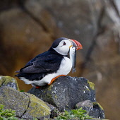 A puffin on Isle of May, Scotland Ian Macrae Young/ Scottish Viewpoint uk,u.k,Great Britain,GB,G.B,Scotland,Scottish,nobody,daytime,outdoors,Nesting,puffin,bird reserve,Bird sanctuary,research station,Isle of May,birds,sea,fish,beak