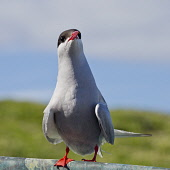 A tern on Isle of May, Scotland Ian Macrae Young/ Scottish Viewpoint uk,u.k,Great Britain,GB,G.B,Scotland,Scottish,nobody,daytime,outdoors,Nesting,tern,bird reserve,Bird sanctuary,research station,Isle of May,birds,sea