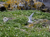 A  artic tern on Isle of May, Scotland Ian Macrae Young/ Scottish Viewpoint uk,u.k,Great Britain,GB,G.B,Scotland,Scottish,nobody,daytime,outdoors,Nesting,tern,bird reserve,Bird sanctuary,research station,Isle of May,birds,sea