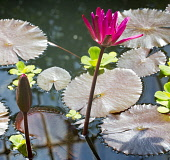 Water lilies in a pond Ian Macrae Young/ Scottish Viewpoint uk,u.k,Great Britain,GB,G.B,Scotland,Scottish,nobody,daytime,outdoors,water,lilies,lily,flowers,plants