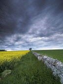 Oilseed rape field near Montrose, Angus.Scotland Allan Coutts/Scottish Viewpoint u.k,Great Britain,GB,G.B,Scotland,Scottish,nobody,daytime,outdoors,montrose,angus,brechin,agriculture,arable,farming,field,flowers,flowering,wall,dyke,drystone,tree,oilseed,rapeseed,crop,yellow,green,