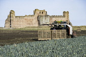 View of farm workers harvesting field of leeks in front of Tantallon Castle in East Lothian, Scotland, United Kingdom Iain Masterton /Scottish Viewpoint Farming,agriculture,harvesting,foreign farm workers,tantallon castle,field,picking crop,crops,spring,farm,machinery,UK,united Kingdom,Britain,europe,picking,vegetable crop,farm workers,people