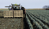View of farm workers harvesting field of leeks in East Lothian, Scotland, United Kingdom Iain Masterton /Scottish Viewpoint Farming,agriculture,harvesting,foreign farm workers,field,picking crop,crops,spring,farm,machinery,UK,united Kingdom,Britain,europe,picking,vegetable crop,farm workers,people