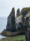 Sea Stacks with nesting birds at Pilgrim's Haven on Isle of May National Nature Reserve, Firth of Forth, Scotland, UK Iain Masterton /Scottish Viewpoint Isle of May,Isle of May National Nature Reserve,Firth of Forth,bird sanctuary,islands,Scotland,Scottish,Scotland Island,Island Scotland,Isle of May Scotland,UK,United kingdom,National,Trust for Scotla
