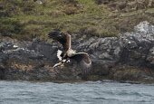 white-tailed sea-eagle;haliaeetus albicilla;taking fish;north uist;scotland Mark Hicken /Scottish Viewpoint haliaeetus albicilla,white-tailed sea-eagle,white-tailed eagle,feeding,fishing,taking fish,flying,swooping,north uist,scotland,british bird,scottish wildlife,bird,birds,fish,catch,catching