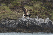white-tailed sea-eagle;haliaeetus albicilla;taking fish;north uist;scotland Mark Hicken /Scottish Viewpoint white-tailed eagle,white-tailed sea-eagle,haliaeetus albicilla,taking fish,feeding,fishing,flying,scotland,scottish wildlife,swooping,north uist,british bird,bird,birds,fish,catch,catching