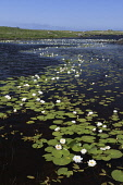 white water-lilies;nymphaea alba;south uist;scotland Mark Hicken /Scottish Viewpoint nymphaea alba,lady of the lake,white water-lily,lilies,loch,lochan,flora,flowers,white,scenic,scotland,scottish wildlife,south uist,western isles,white water lilies,uists,british flora