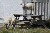sheep on picnic table;cheese bay;north uist;scotland Mark Hicken /Scottish Viewpoint uk,u.k,Great Britain,GB,G.B,Scotland,Scottish,nobody,daytime,outdoors,sheep,lamb,picnic table,cheese bay,north uist,habitation,building,tourism,beasts,domestic,stock