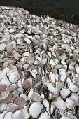 scallop shells;kallin harbour;north uist;scotland Mark Hicken /Scottish Viewpoint uk,u.k,Great Britain,GB,G.B,Scotland,Scottish,nobody,daytime,outdoors,scallops,scallop,shells,empty,shellfish,seafood,discarded,kallin,harbour,kallin harbour,north uist