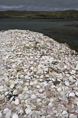 scallop shells;kallin harbour;north uist;scotland Mark Hicken /Scottish Viewpoint uk,u.k,Great Britain,GB,G.B,Scotland,Scottish,nobody,daytime,outdoors,scallop,shells,scallops,seafood,shellfish,stacks,discarded,kallin,kallin harbour,harbour,north uist