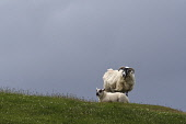 scottish blackface sheep;lamb;ovis;carinish;north uist;scotland Mark Hicken /Scottish Viewpoint uk,u.k,Great Britain,GB,G.B,Scotland,Scottish,nobody,daytime,outdoors,scottish blackface sheep,sheep,stock,lamb,north uist,carinish,domestic,ovis