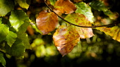 Autumn leaves of a beech hedge Andrew Wilson /Scottish Viewpoint Scotland,autumn leaves,close up,close-ups,copper,copper beech,cultivated,differential focus,dying,golden,growing,hedge,plant,soft focus,sunny,sunshine,weather