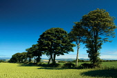 Looking towards Montrose, Angus Keith Fergus/Scottish Viewpoint u.k,Great Britain,GB,G.B,Scotland,Scottish,nobody,outdoors,Angus,Countryside,Angus Countryside,Agriculture,Rural,Montrose,East Scotland,Summer,fields,trees,crops
