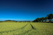 Looking towards the Angus hills from near Montrose, Angus Keith Fergus/Scottish Viewpoint u.k,Great Britain,GB,G.B,Scotland,Scottish,nobody,outdoors,Angus,Countryside,Angus Countryside,Agriculture,Rural,Montrose,East Scotland,Summer,trees,fields,crops
