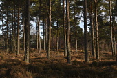 scots pine trees;pinus sylvestris;dreggie hill;grantown on spey;moray;scotland Mark Hicken/Scottish Viewpoint uk,u.k,Great Britain,GB,G.B,Scotland,Scottish,nobody,daytime,outdoors,trees,grantown on spey,dreggie hill,moray,scots pine,pinus sylvestris,woodland,winter,forest,pine,tree