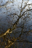 river ewe;reflections;poolewe;wester ross;scotland Mark Hicken/Scottish Viewpoint design,reflection,river,river ewe,ross and cromarty,water,wester ross,winter,poolewe,scotland,trees,reflections,branches,twigs,abstract