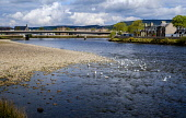 A flock of seagulls on the River Ness in Inverness, Scotland Andrew Wilson/Scottish Viewpoint uk,u.k,Great Britain,GB,G.B,Scotland,Scottish,nobody,daytime,outdoors,Inverness,River Ness,flock,highland capital,highlands of Scotland,seagulls,spring,springtime,city,highlands