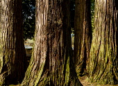 Trees in woodland beside the River Ness in Inverness, Scotland Andrew Wilson/Scottish Viewpoint uk,u.k,Great Britain,GB,G.B,Scotland,Scottish,nobody,daytime,outdoors,Inverness,River Ness,bark,close up,close-up,forest,highland capital,highlands of Scotland,spring,springtime,tree bark,tree,trees,w