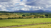 Panorama, Looking across River Spey at Grantown on Spey to Cairngorms,  Highlands, Scotland, UK Dennis Barnes/Scottish Viewpoint uk,u.k,Great Britain,GB,G.B,Scotland,Scottish,nobody,daytime,Panorama,River,Spey,Grantown,on,Cairngorms,National,Park,Highland,farmland,cows,sheep,field,fields,cairngorm