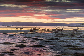 Lochranza sunset gathering.of deer on the sea shore. Isle of Arran Allan Wright/Scottish Viewpoint uk,u.k,Great Britain,GB,G.B,Scotland,Scottish,nobody,daytime,outdoors,dusk,peaceful,sunset,pink,warm,crimson,reflection,island,sea,shore,coast,bay,arran,lochranza,kilbrannan,deer,stags,antlers,west co