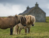 Two shetland ponies and cottage, Shetland Allan Wright/Scottish Viewpoint uk,u.k,Great Britain,GB,G.B,Scotland,Scottish,nobody,daytime,outdoors,shetland,northern isles,united kingdom,equestrian,exploring,escaping,farming,crofting,island,ponies,pony,horse,horses